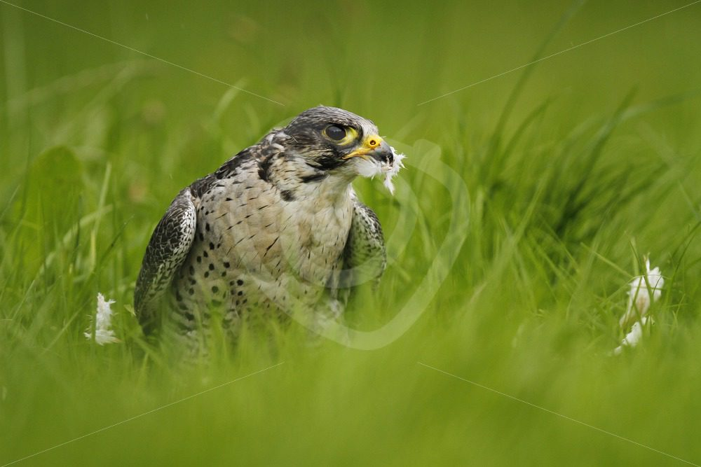 Peregrine falcon with feathers from prey - Nature Stock Photo Agency