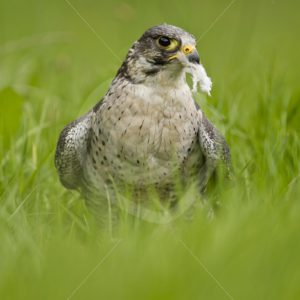 Peregrine falcon with prey in the grass - Nature Stock Photo Agency