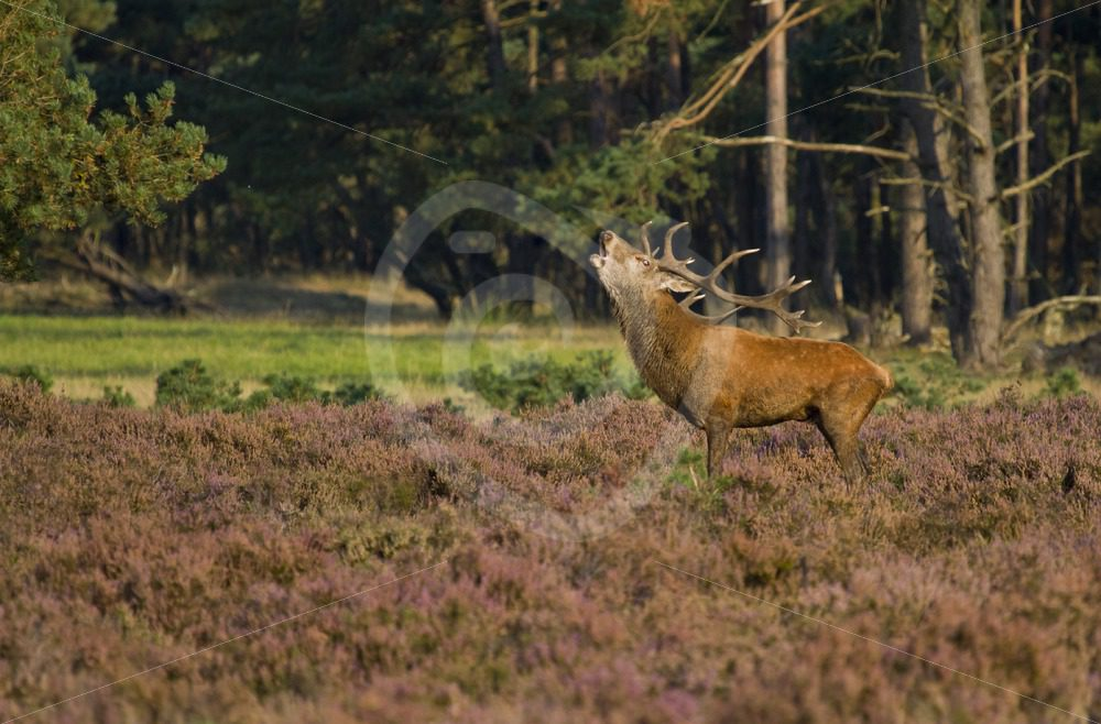 Red deer roaring - Nature Stock Photo Agency