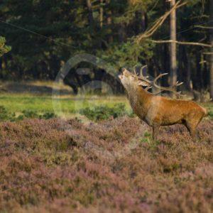 Red deer roaring - Nature Stock Photo Agency