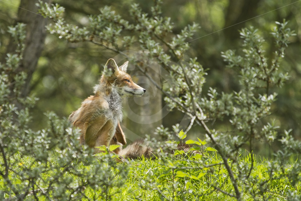 Red fox between the bushes - Nature Stock Photo Agency