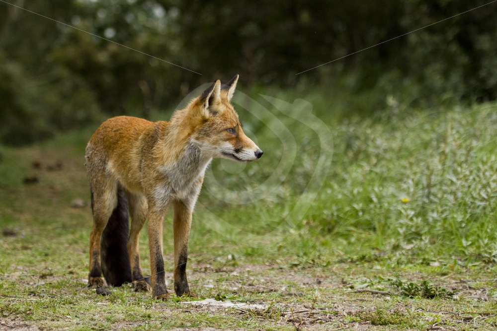 Red fox looking into direction - Nature Stock Photo Agency