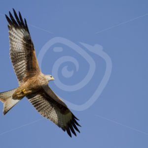 Red kite flying over - Nature Stock Photo Agency