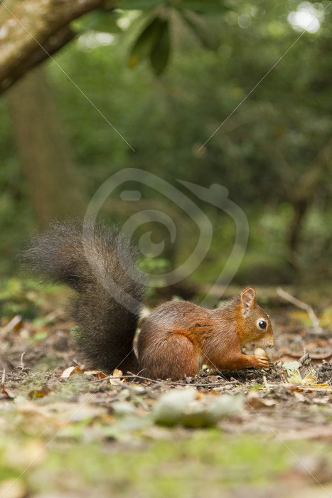 Red squirrel eating acorn - Nature Stock Photo Agency
