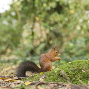 Red squirrel in the woods - Nature Stock Photo Agency