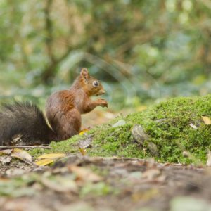 Red squirrel on moss - Nature Stock Photo Agency