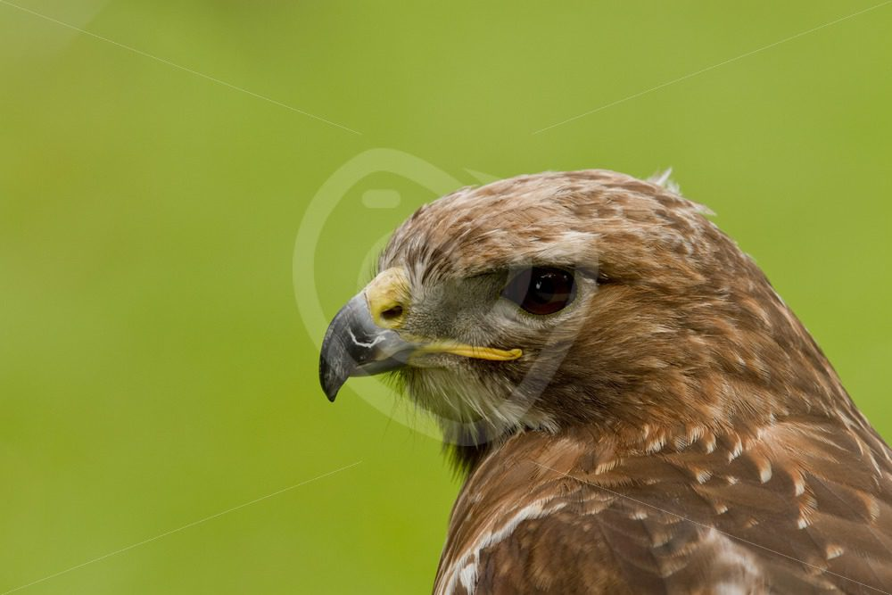 Red-tailed hawk closeup - Nature Stock Photo Agency