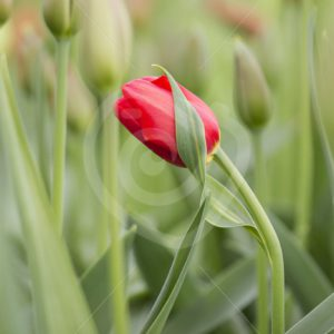 Red tulip soft focus - Nature Stock Photo Agency