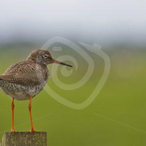 Redshank portrait on a pole - Nature Stock Photo Agency