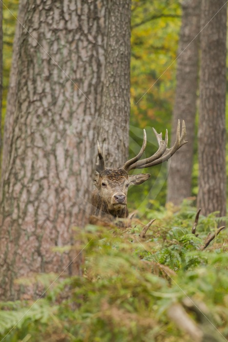 Roe deer between the ferns - Nature Stock Photo Agency