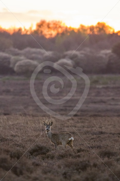 Roe deer during nightfall in the meadow - Nature Stock Photo Agency