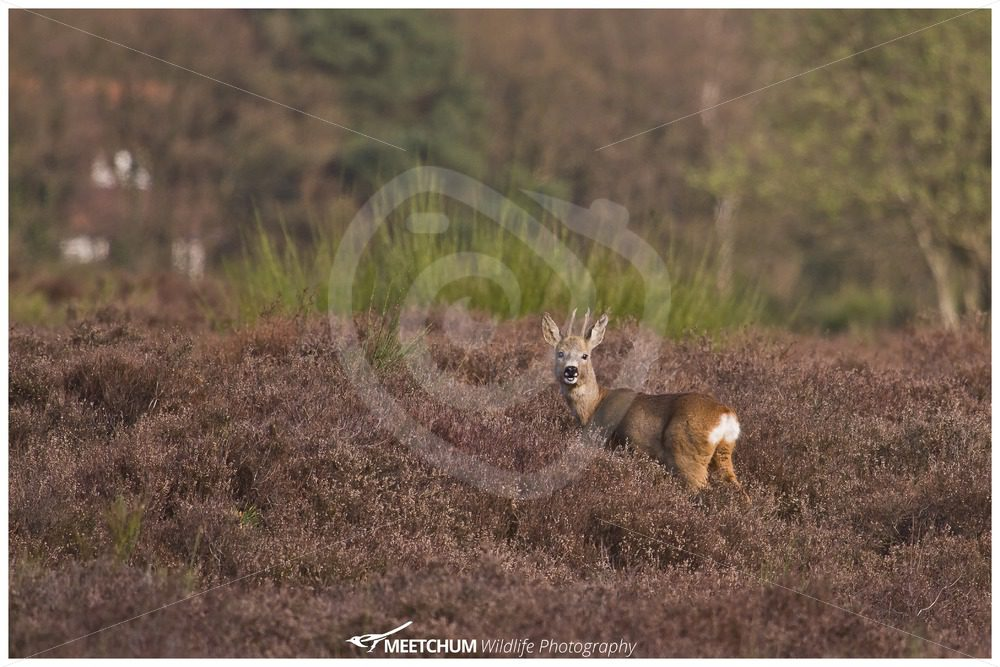 Roe deer in the moorland - Nature Stock Photo Agency