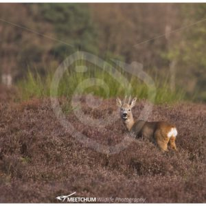Roe deer in the moorland - Nature Stock Photo Agency