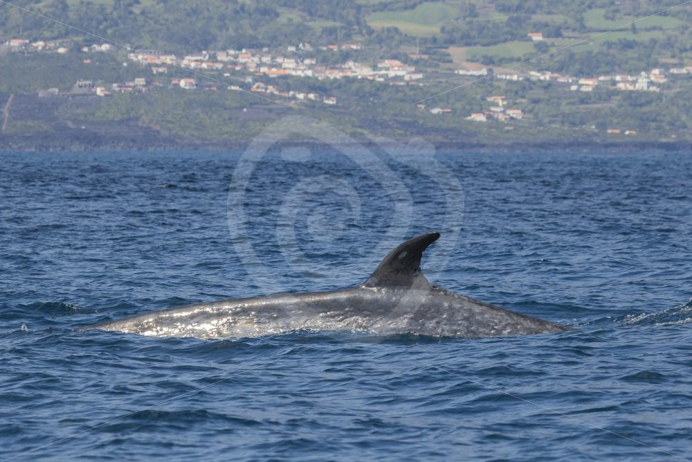 Sei whale passing by the shore of Lajos, Azores - Nature Stock Photo Agency