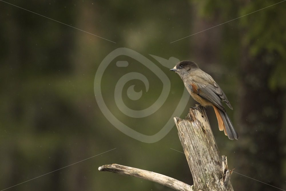 Siberian Jay in the woods - Nature Stock Photo Agency