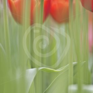 Soft focus red tulips - Nature Stock Photo Agency