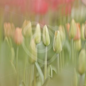 Soft focus tulips - Nature Stock Photo Agency