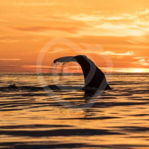 Sperm whale during midsummer night - Nature Stock Photo Agency