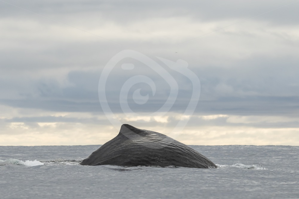 Spermwhale diving - Nature Stock Photo Agency