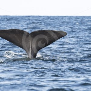 Spermwhale diving in Andenes Norway - Nature Stock Photo Agency