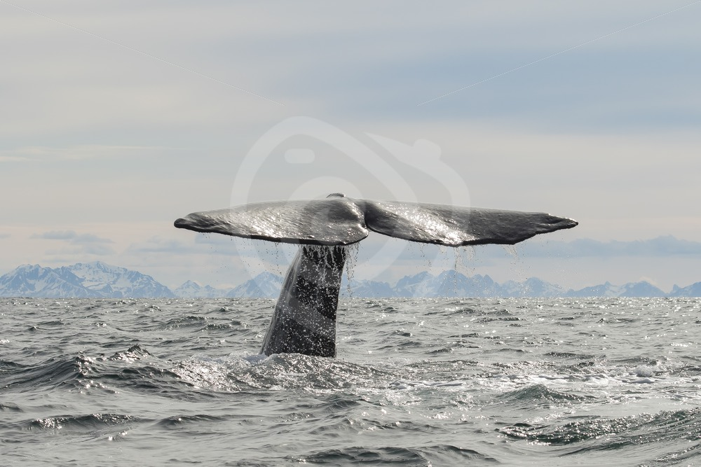 Spermwhale fluke view - Nature Stock Photo Agency