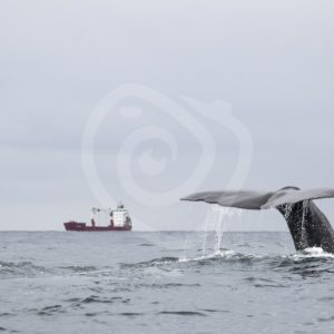 Spermwhale fluke with ship in the background - Nature Stock Photo Agency