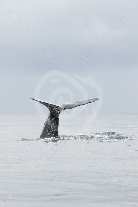 Spermwhale fluking in Norway - Nature Stock Photo Agency