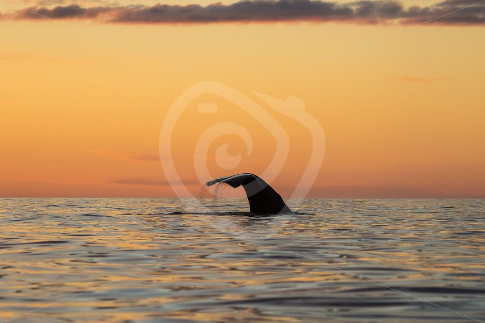 Spermwhale in the Norwegian sunset - Nature Stock Photo Agency