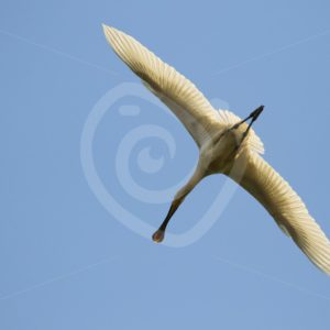 Spoonbill from below - Nature Stock Photo Agency