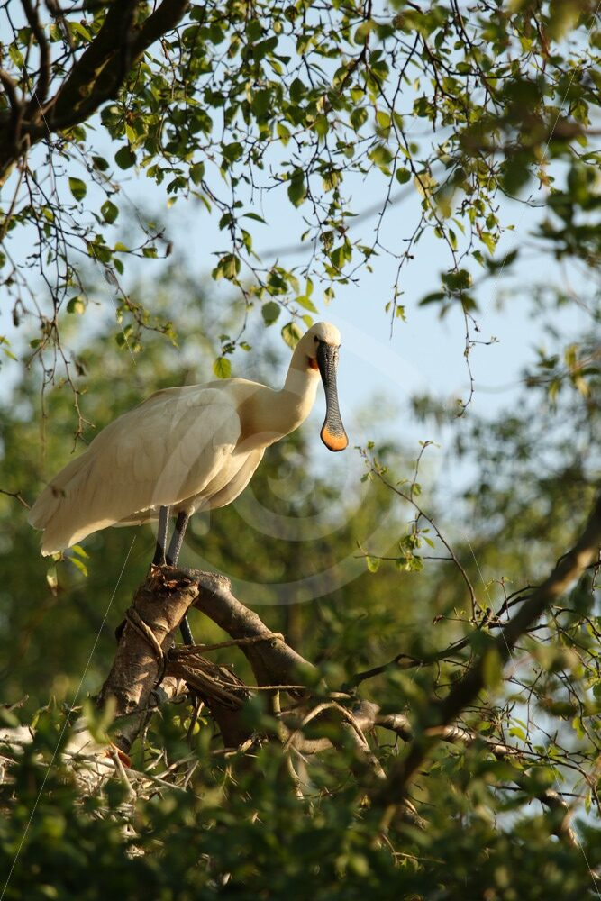 Spoonbill in treetop - Nature Stock Photo Agency
