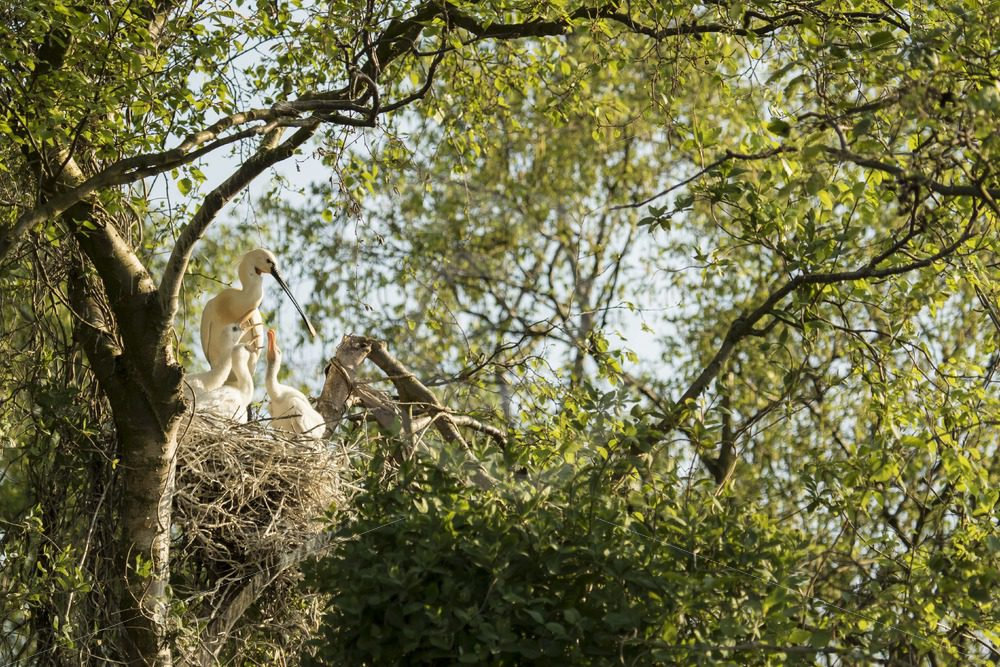 Spoonbill nest with chicks - Nature Stock Photo Agency