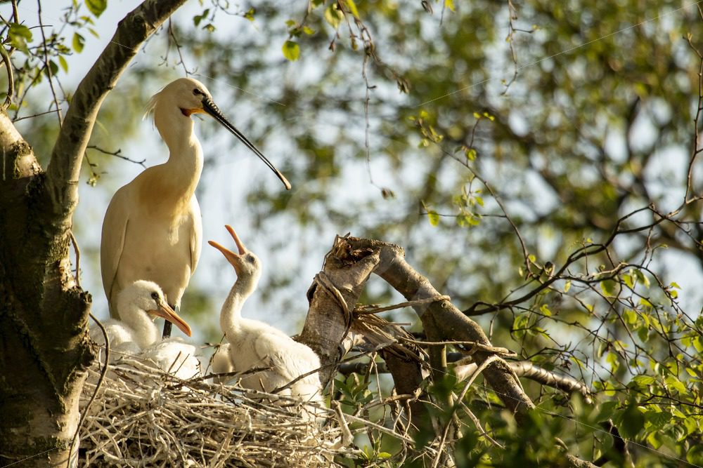 Spoonbill on next with chicks - Nature Stock Photo Agency
