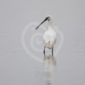 Spoonbill overlooking the lake - Nature Stock Photo Agency