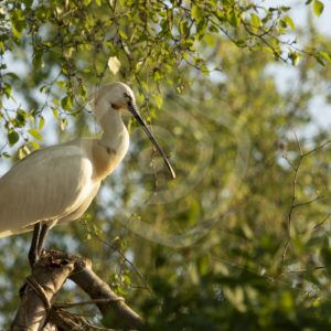 Spoonbill sitting in a treetop - Nature Stock Photo Agency