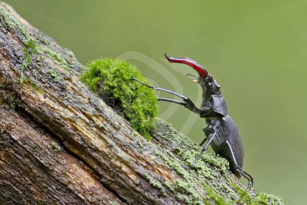 Stag beetle closeup with moss - Nature Stock Photo Agency