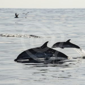 Striped dolphin mother and calf jumping out of the water - Nature Stock Photo Agency