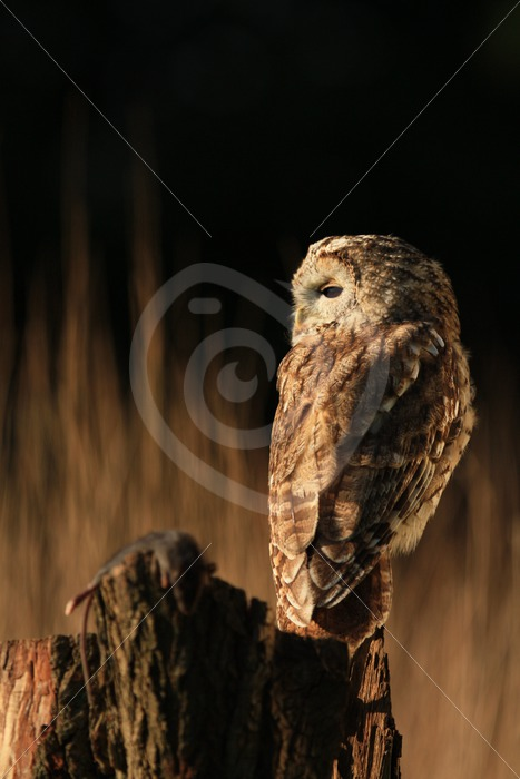 Tawny owl with a mouse as prey - Nature Stock Photo Agency