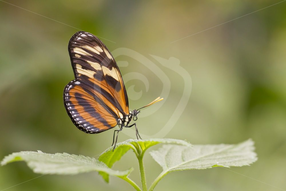 Tiger heliconian butterfly closeup - Nature Stock Photo Agency