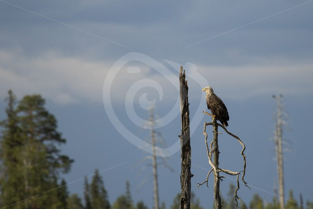 White-tailed eagle overlooking the area - Nature Stock Photo Agency
