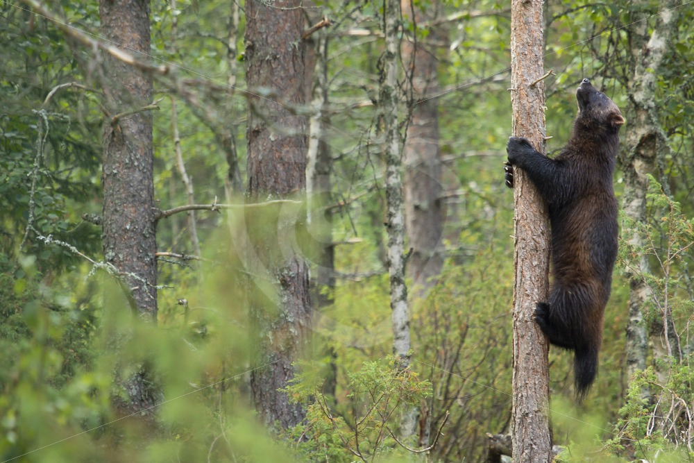 Wolverine climbing in a tree - Nature Stock Photo Agency