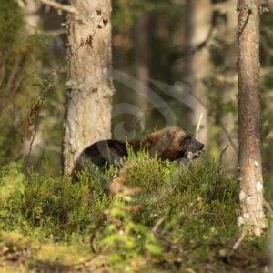 Wolverine eating in the woods - Nature Stock Photo Agency