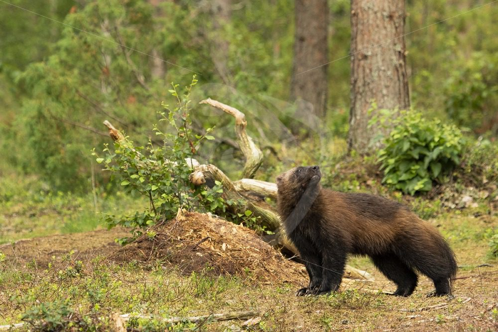 Wolverine looking up in the woods of Finland - Nature Stock Photo Agency
