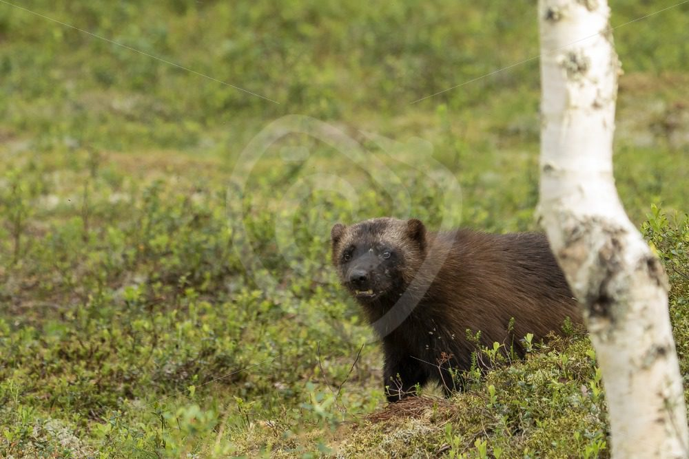 Wolverine with a birch in the woods - Nature Stock Photo Agency