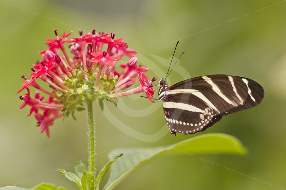 Zebra longwing (Heliconius charithonia) on a flower - Nature Stock Photo Agency
