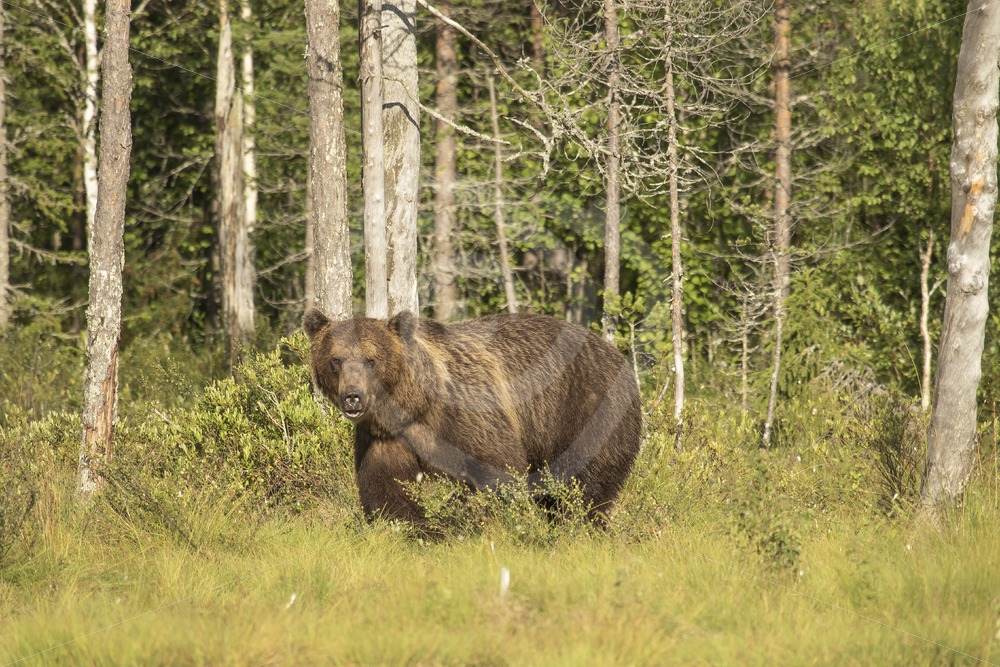 brown bear in sunny forest - Nature Stock Photo Agency