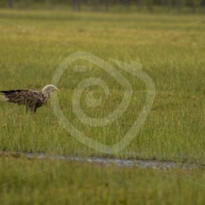 white-tailed eagle landed in the swamp - Nature Stock Photo Agency