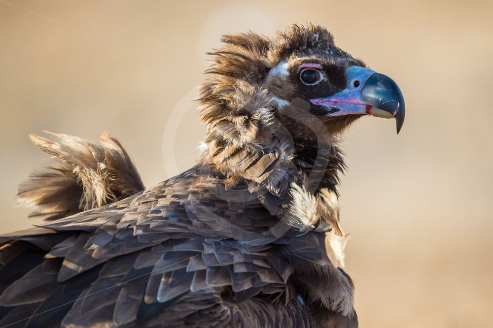 Mongolian black vulture - Nature Stock Photo Agency