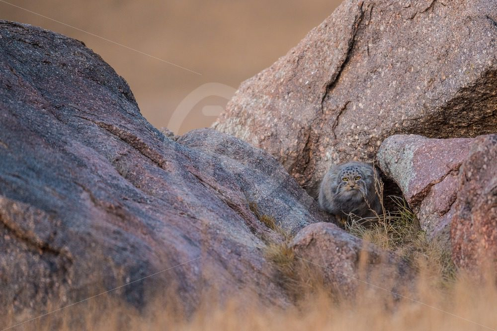 Pallas's cat in between the rocks - Nature Stock Photo Agency