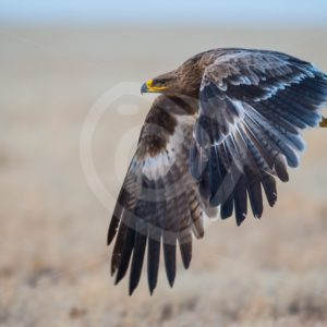 Steppe Eagle flying over Mongolian plains - Nature Stock Photo Agency