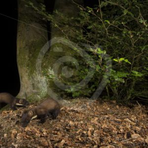 2 European pine martens searching the ground - Nature Stock Photo Agency